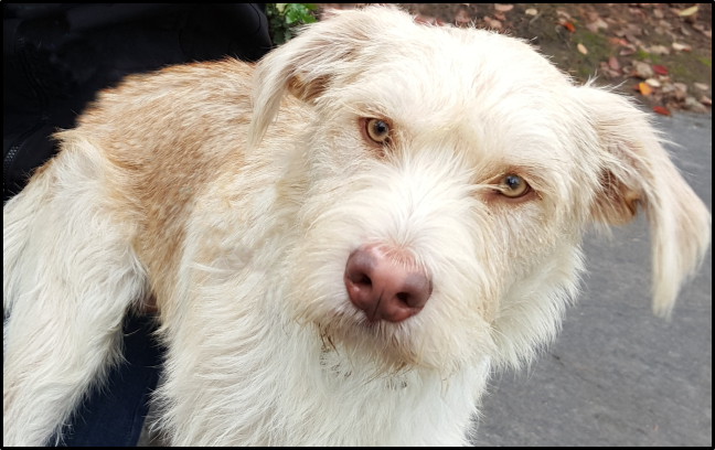 White Terrier Shelter Dog